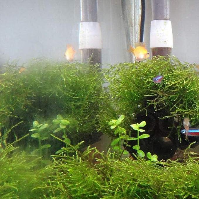 Quanjucheer - 50 semillas para plantas de acuario, hierba acuática, tortuga acuática, pecera, decoración bajo el agua: Amazon.es: Jardín