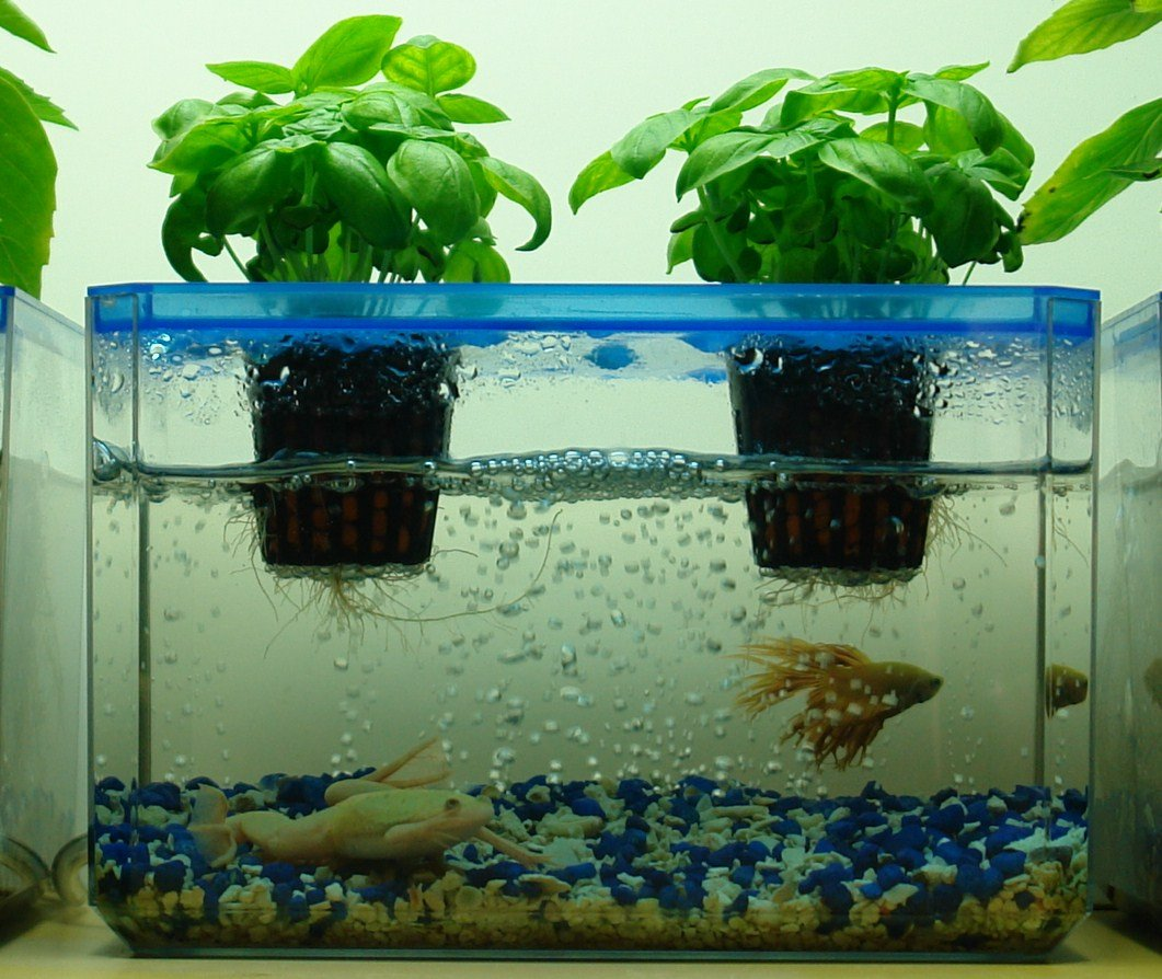 Aquaponic gardening with fish garden ftempo for Fish tank garden