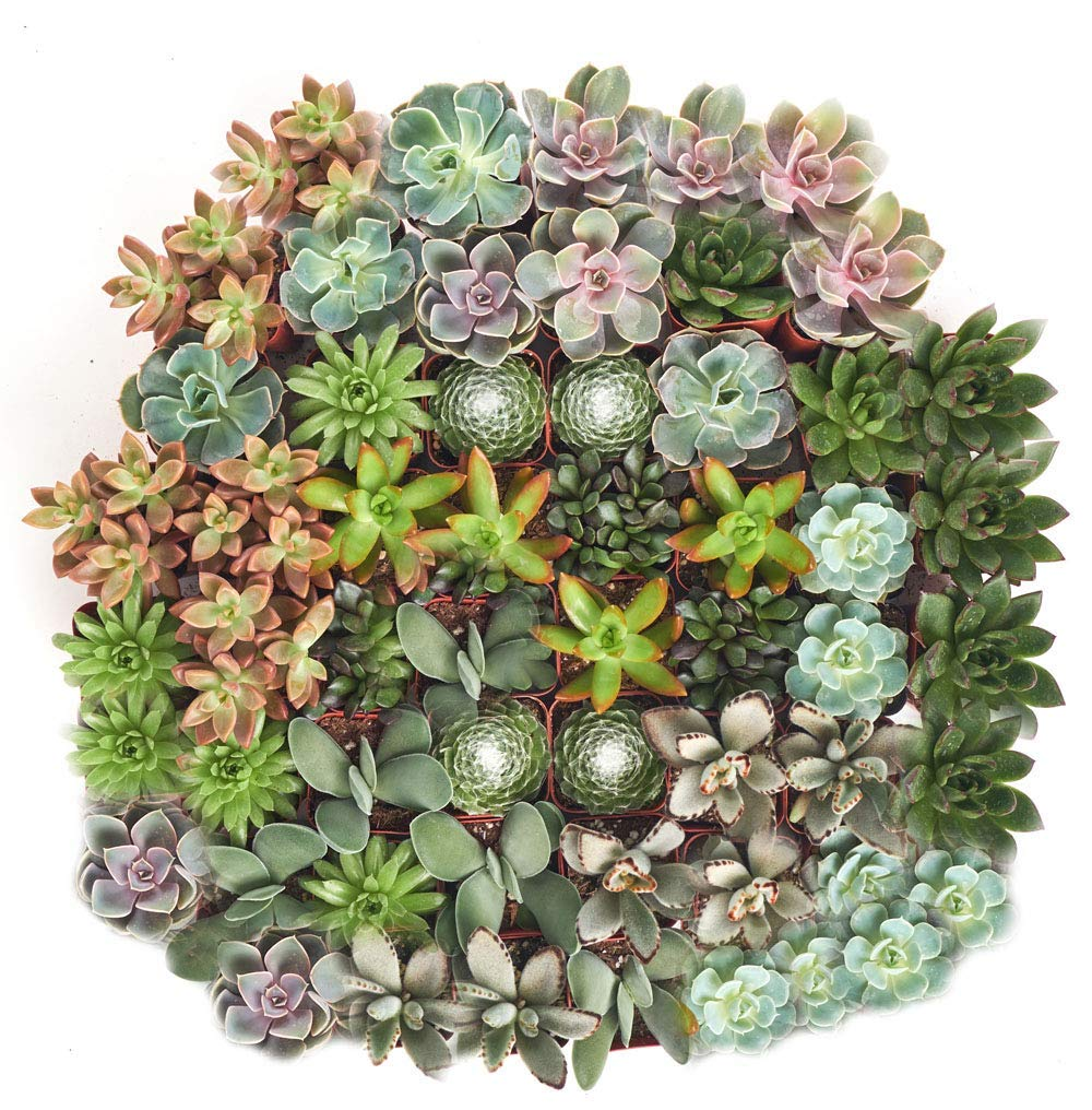 Shop Succulents| Assorted Collection of Live SucculentPlants, Hand Selected Variety Pack of Mini Succulents | Collection of 128 in 2'' pots by Shop Succulents (Image #3)
