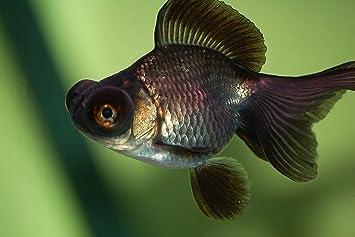 Amazon Com Black Moor Goldfish 2 3 Live Freshwater Aquarium