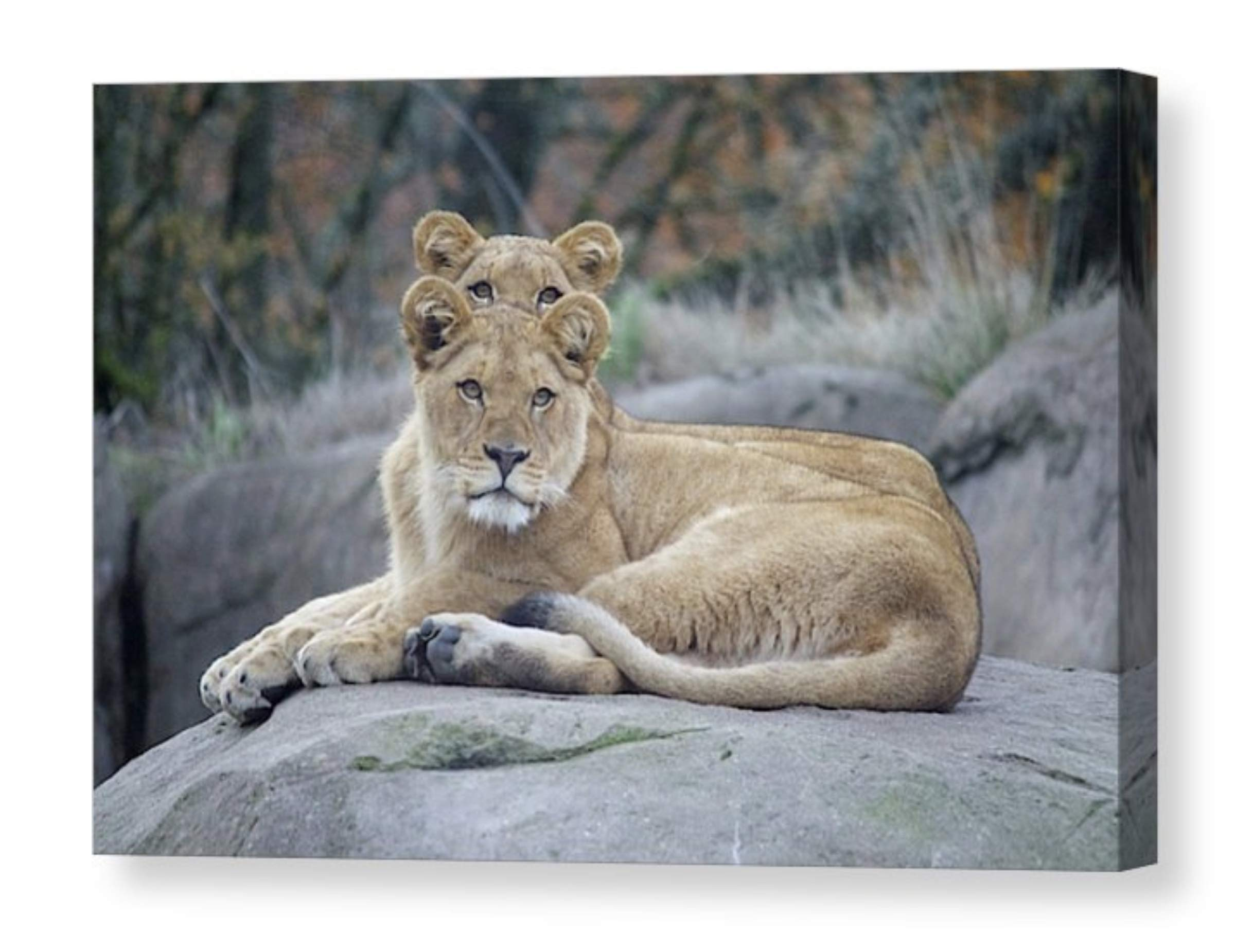 Baby Animal Photo on CANVAS Two Adorable Lion Cubs Lounging on a Rock Children's Room Nursery Wall Art Twins Gift Ready to Hang 8x10 8x12 11x14 12x18 16x20 16x24 20x30