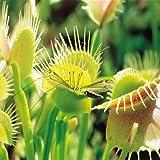 Vénus plante attrape- mouche - 1 plante