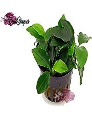 Plante vivante pour aquarium «Anubias Nana».