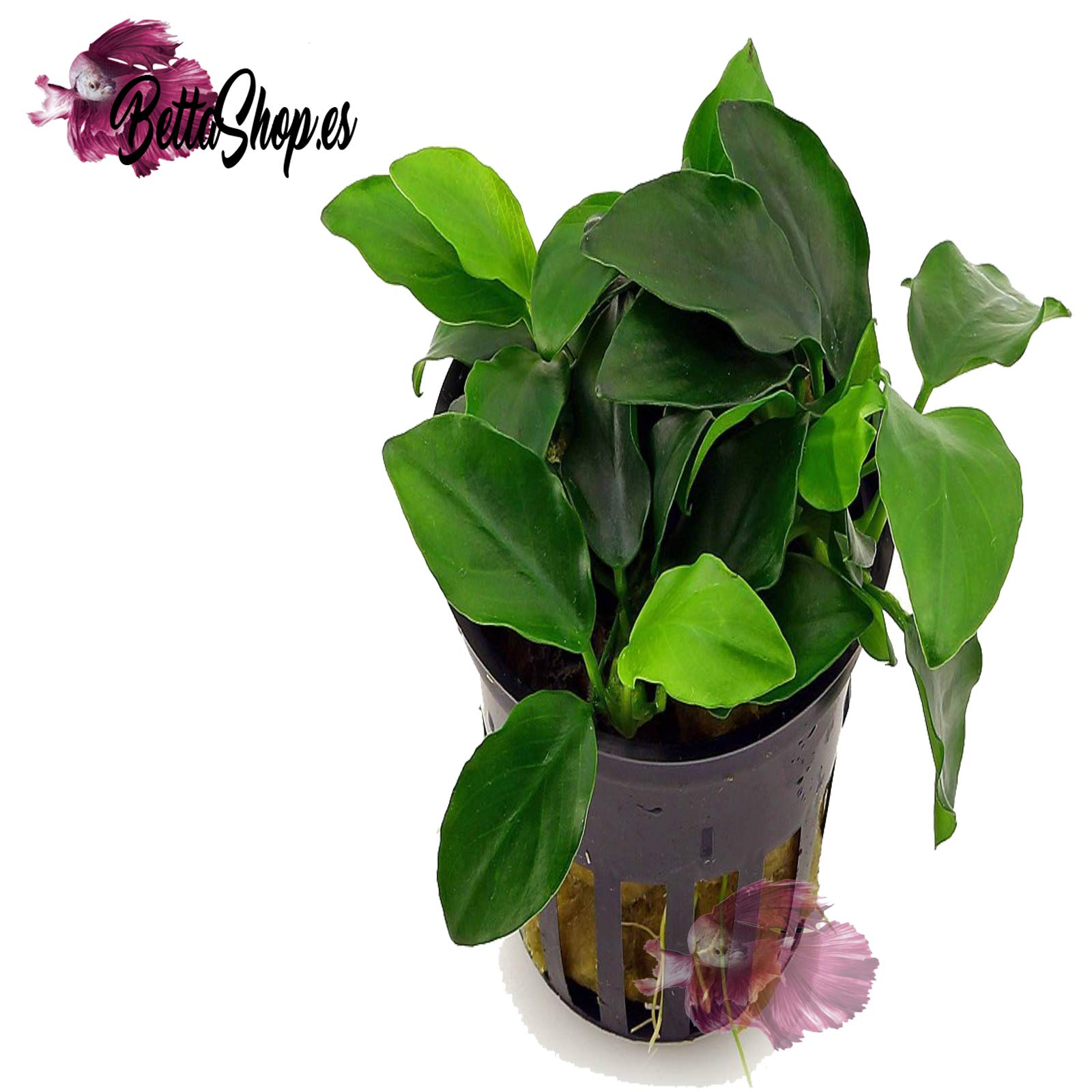 Plante vivante pour aquarium «Anubias Nana». product image