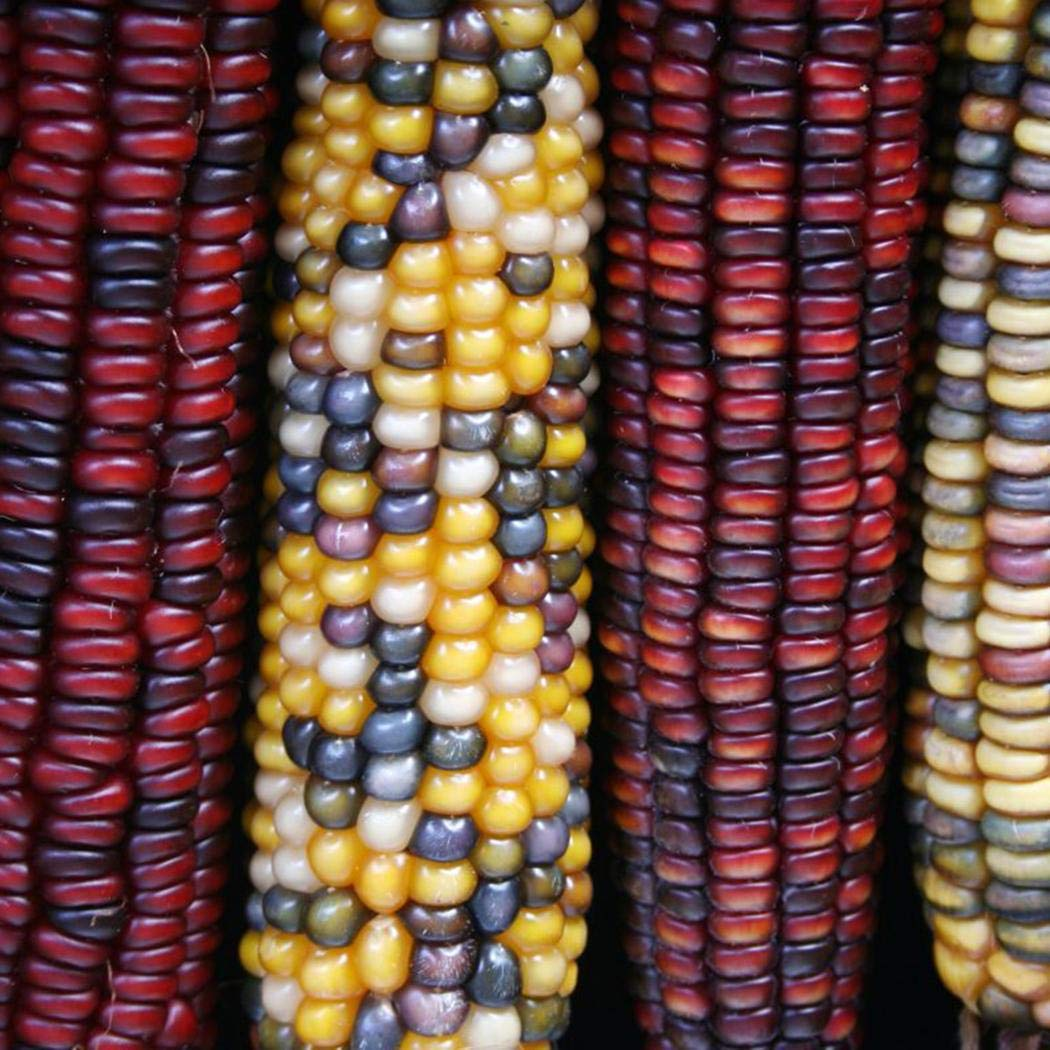 10 Pcs Rare Corn Seed Sweetcorn Organic Corn Colorful Vegetable Seed Cereal Corn Seed Perennial Hardy Vegetables for Garden Farm Beautytalk Seeds