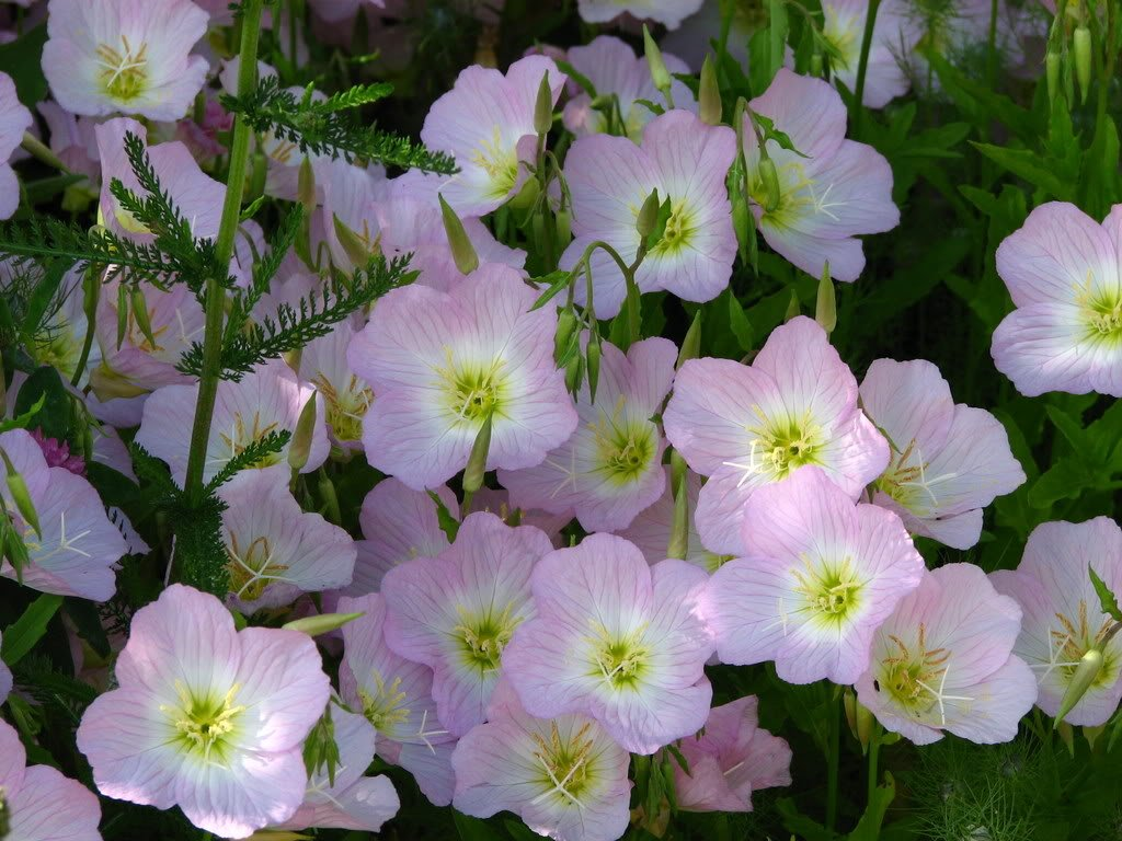 Amazon 1000 Showy Pink Evening Primrose Pink Ladies Mexican