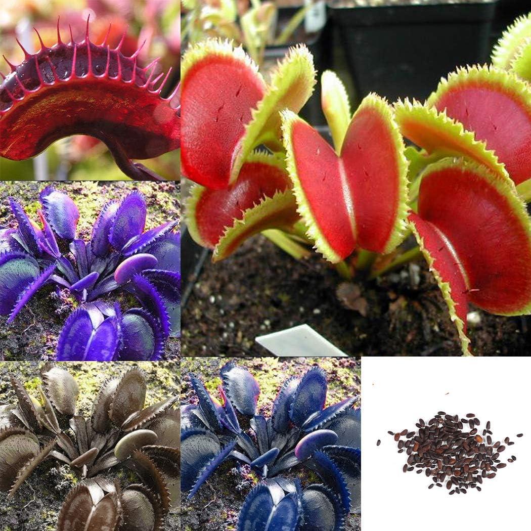 fleischfressende Pflanze Koffee//Gr/ün//Rosa//Rot Dionaea muscipula 50 St/ück Selten Blau Venusfliegenfalle Samen Keland Garten