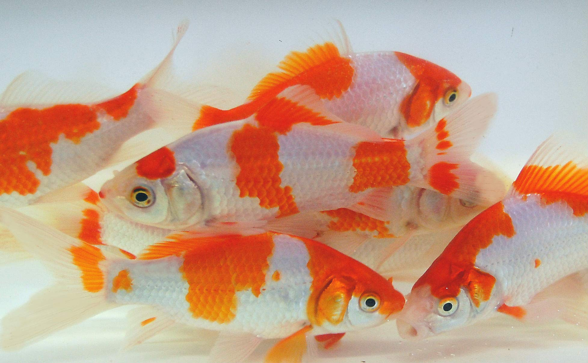 Live Sarasa Goldfish for Aquariums, Tanks, or Garden Ponds - Live Red and White Commons - Born and Raised in The USA - Live Arrival Guarantee (4 to 5 inches, 10 Fish) by Toledo Goldfish
