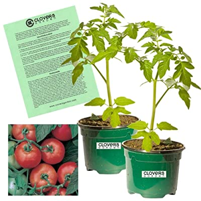 "Clovers Garden Early Girl Tomato Plant – Two (2) Live Plants – Not Seeds, Each 5""-7"" Tall- in 3.5 Inch Pots : Garden & Outdoor"
