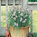 Park Seed Garlic Chives Seeds