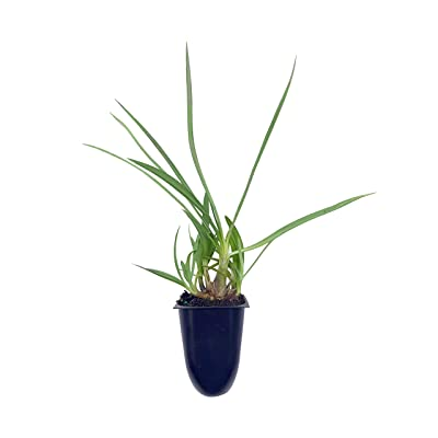 Florida Foliage Agapanthus Getty White - 60 Live Plants - Blooming Groundcover Grass : Garden & Outdoor