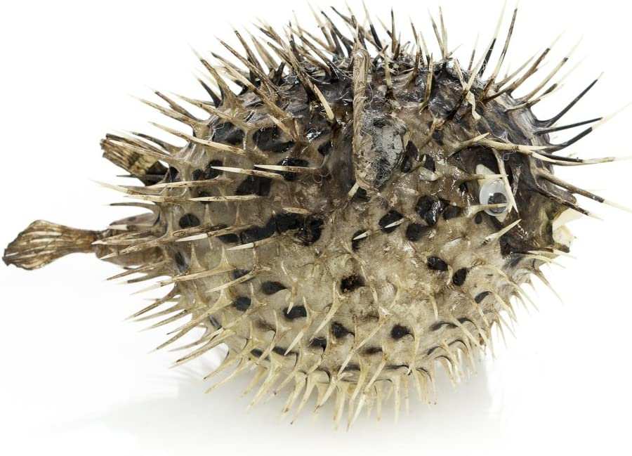 "1 Porcupine Blowfish Fish | Collector Fish | Porcupine Blowfish for Display or Decor | (6-7"") 