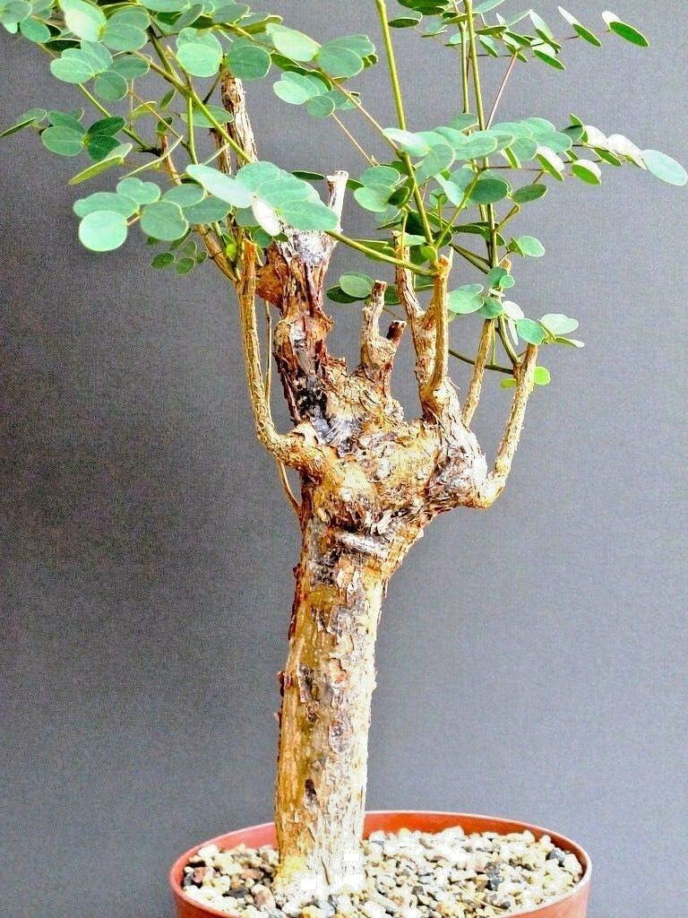 Kakteen Sukkulenten Flamboyant Poinciana Tree Very Rare Bonsai Plant Seed 10 Seeds Delonix Decaryi Garten Terrasse
