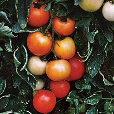 Ultimate Opener F1 Hybrid Tomato Seeds (25 Seeds) : Garden & Outdoor