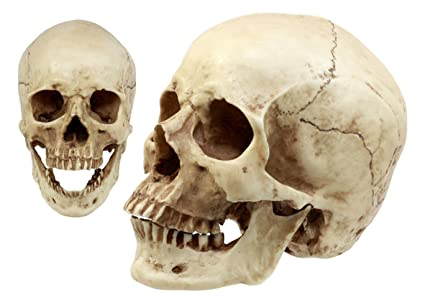 71ZHDfjnThL._SX425_ amazon com ebros gift homosapien human skull statue 7 25\