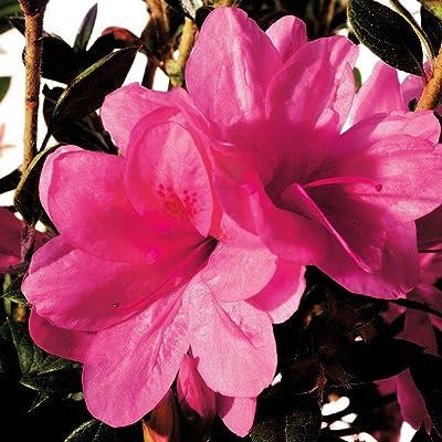 Encore® Azalea Autumn Empress: Everything Else