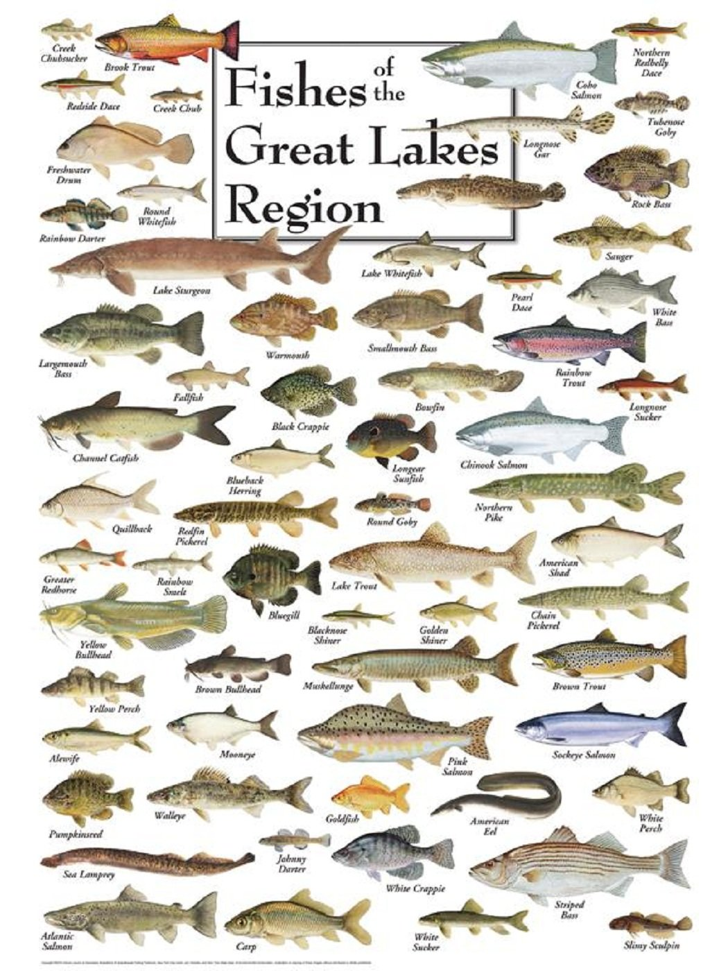 Freshwater fish jigsaw puzzles - Amazon Com Heritage Puzzle Fishes Of The Great Lakes Region Jigsaw Puzzle 550 Piece Toys Games