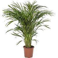 Planta de interior de Botanicly – Palma Areca – Altura: 90 cm – Areca dypsis lutescens