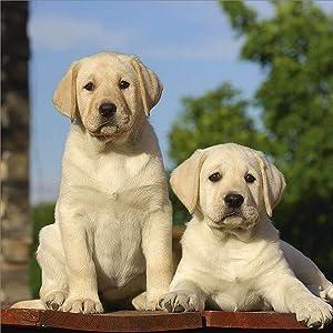 Labrador Retriever Calendar 2021, Yellow - Dog Breed Calendar - Wall Calendar 2020-2021
