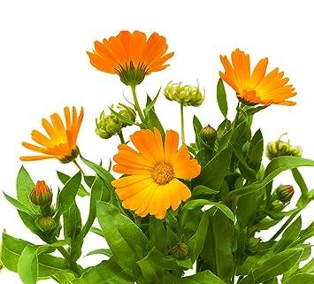 Αποτέλεσμα εικόνας για calendula officinalis