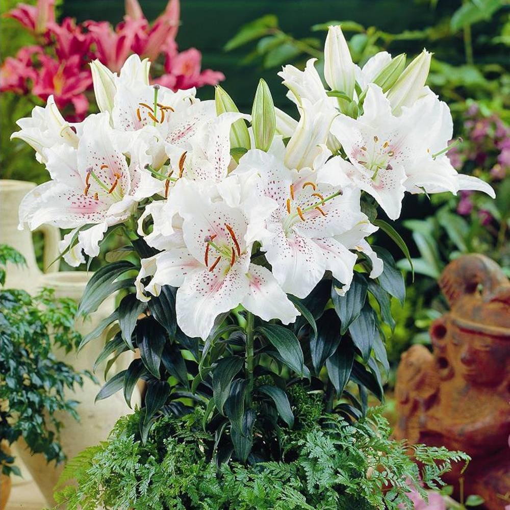 Lilium/Lys Oriental Muscadet - 3 bulbes de fleurs Jardinpourvous