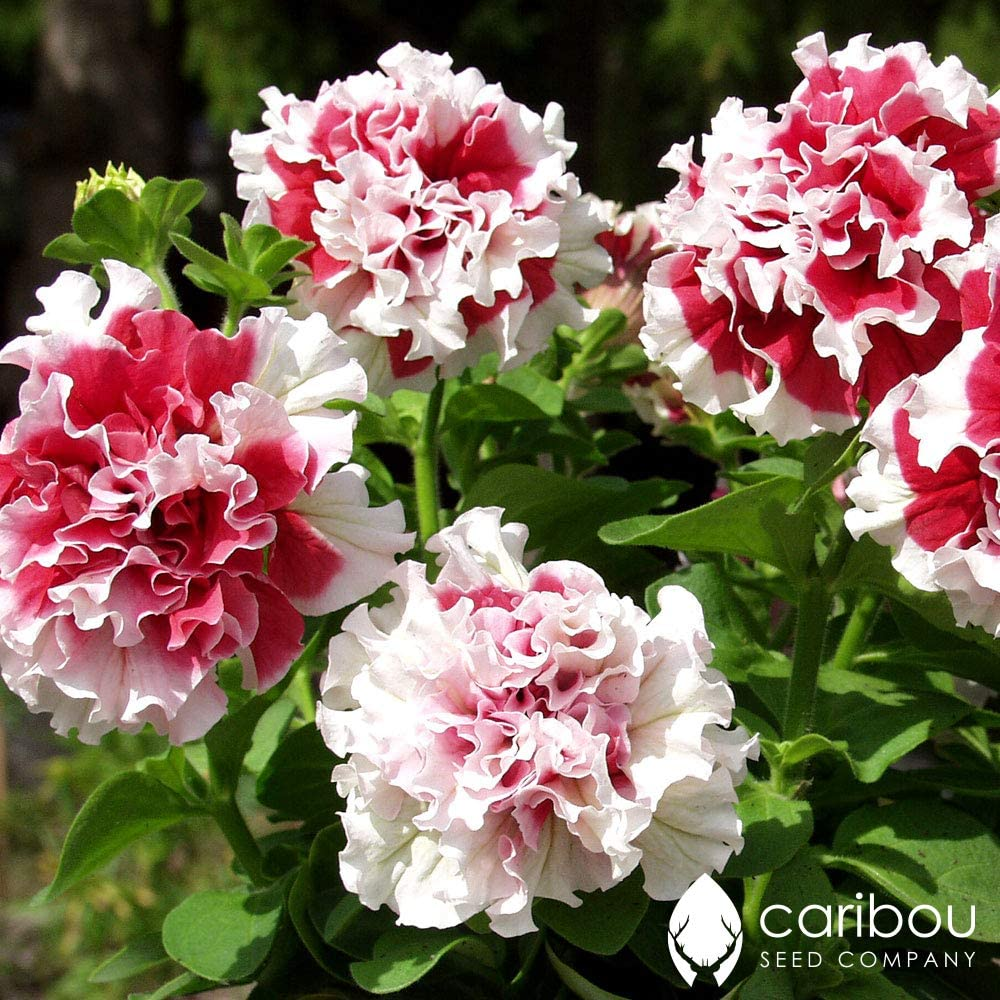 Huge Double Blooms Caribou Seed Company: Double Cascade RED ...