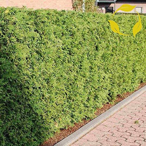 Northern White Cedar - Northern White Cedar Thuja Occidentalis - 250+ Seeds