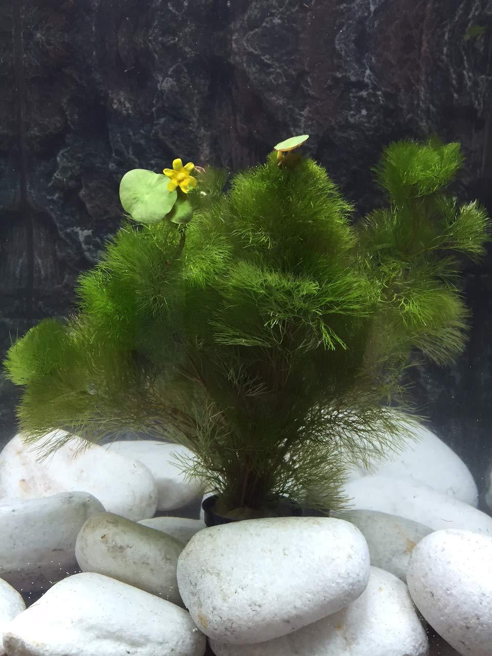 10 Plantas acuáticas Oxigenantes para acuario agua dulce. Cabomba, Elodea, Ambulia, Cola de zorro, Miriophillum.: Amazon.es: Jardín