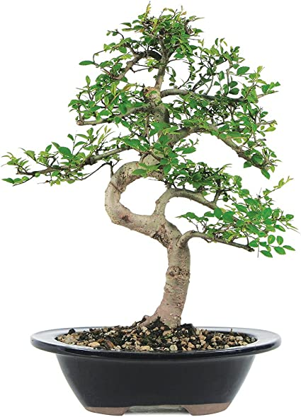 Amazon Com Brussel S Live Chinese Elm Outdoor Bonsai Tree 7 Years Old 8 To 10 Tall With Decorative Container Garden Outdoor