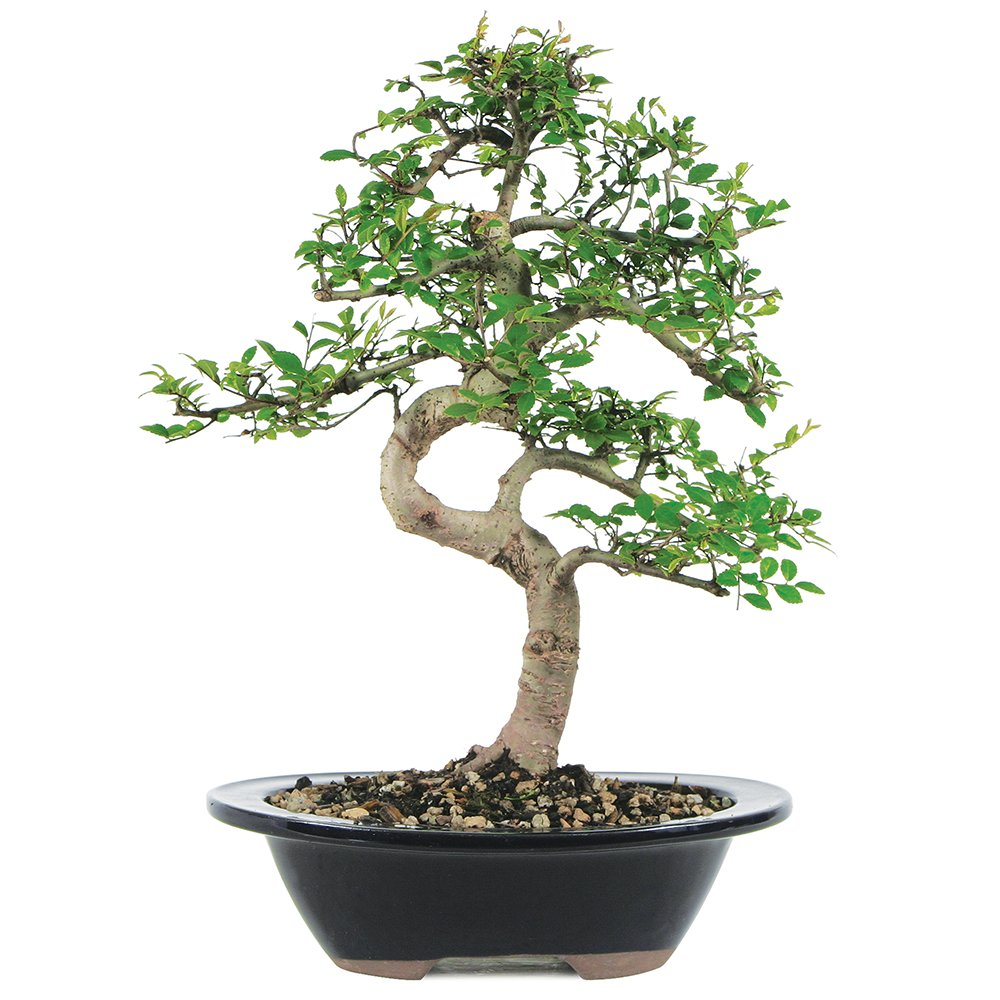 Brussel's Live Chinese Elm Outdoor Bonsai Tree - 7 Years Old; 8'' to 10'' Tall with Decorative Container