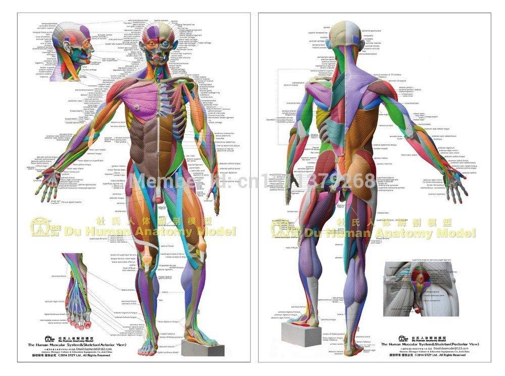 Gráfico Anatómico Humano sistema muscular, anatomía Desollado cartel ...