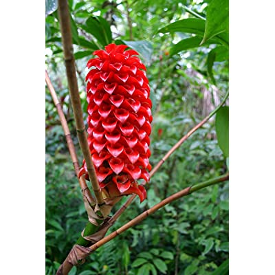 5 Seeds -Red Flowering Tropical Wax Ginger-Giant Ginger-Bright Red Heads - Container Tropical Or Standard Gardening -Tapeinochilos Ananassae : Garden & Outdoor