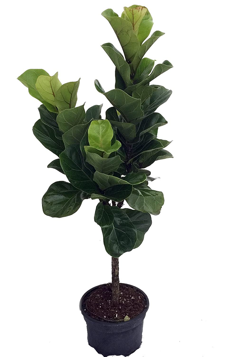 amazoncom fiddleleaf fig stylized tree shape ficus great indoor tree easy 8 pot grocery gourmet food