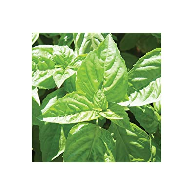 F1 Nufar Basil 200 Seeds by AchmadAnam : Garden & Outdoor