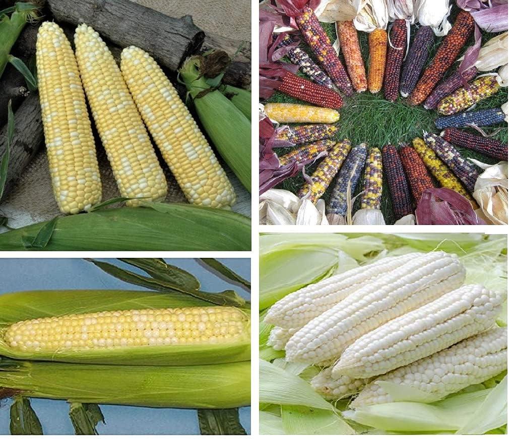 David's Garden Seeds Collection Set Heat Tolerant Corn 3460 (Multi) 4 Varieties 400 Non-GMO, Seeds