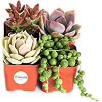 """Good Juju Succulent Collection (Four Pack of 2"""" Succulents) Plus Free Gift by Shop Succulents"""