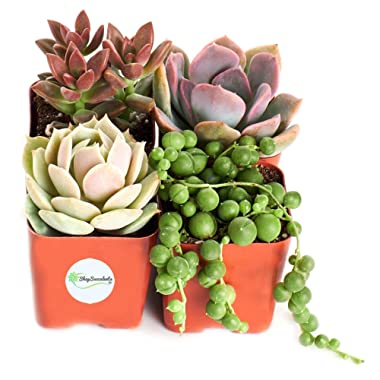 Shop Succulents Good Juju 2  Succulent Collection Plus Free Gift, Pack of 4