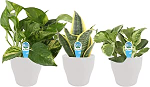 Costa Farms Clean Air 3-Pack O2 for You Live House Plant Collection, White Decor Planter