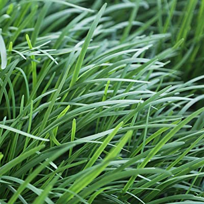 200Pcs Original Chinese Purple Root Chive Organic Herb Leak Seeds : Garden & Outdoor