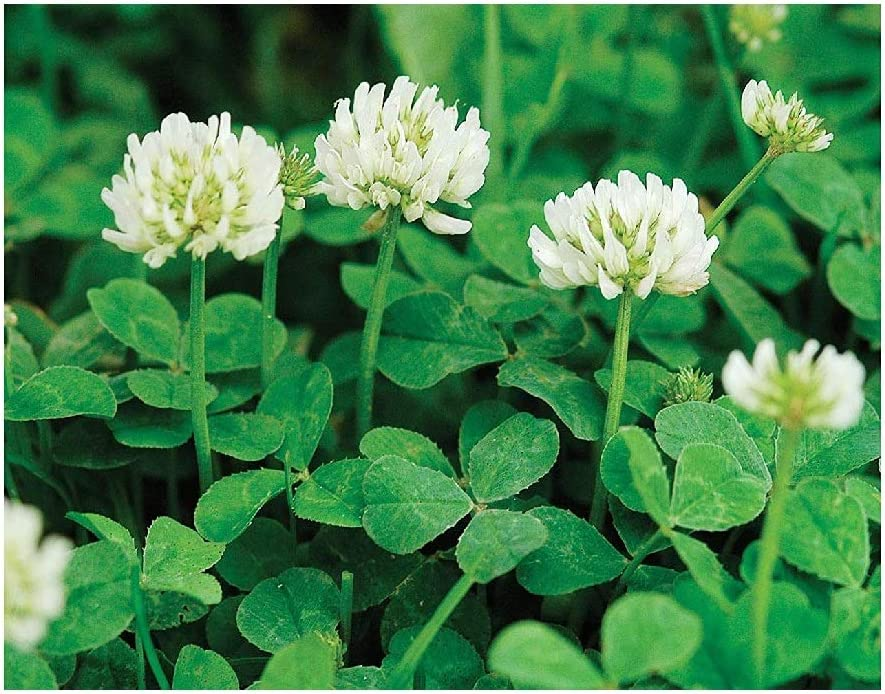 David's Garden Seeds Cover Crop Clover New Zealand 9124 (White) Non-GMO, Open Pollinated Seeds 14 Ounce Package