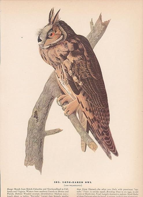 """1942 Vintage AUDUBON BIRDS #383 /""""LONG EARED OWL/"""" Color Art Plate Lithograph"""