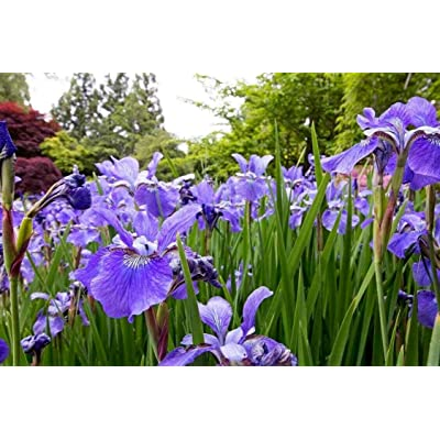 True Source Seeds - Northern Blue Flag IRIS Versicolor Perennial Bog Wetland Water Plant, 5 Large Fresh Seeds : Garden & Outdoor