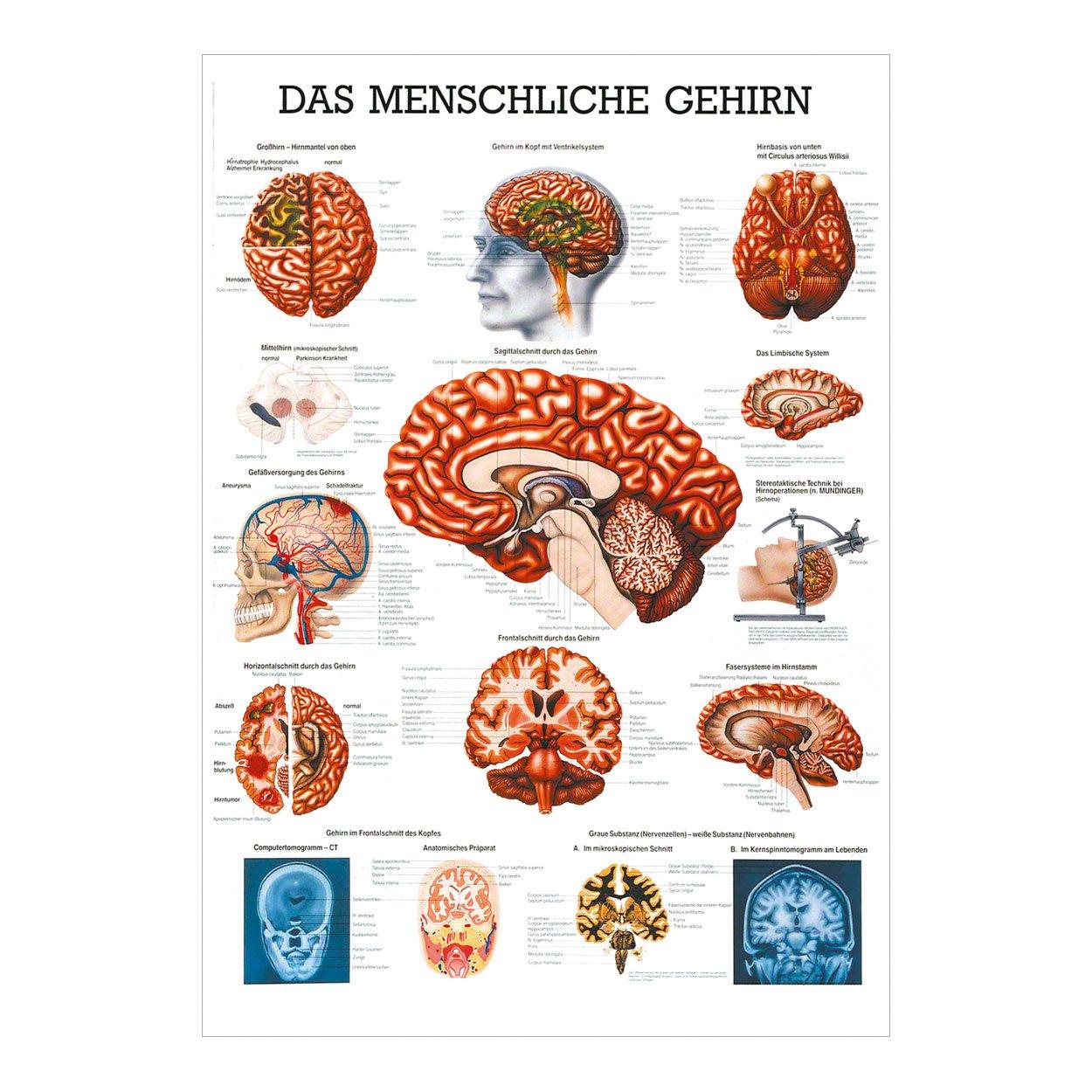 Charmant Anatomie Des Graus Fotos - Physiologie Von Menschlichen ...