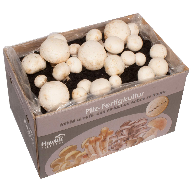 Hawlik Pilzbrut - das Orginal - weiße Champignon - ca. 7kg - GROßE Kultur zum selber züchten - kinderleicht frische Pilze ernten Hawlik Pilzbrut GmbH