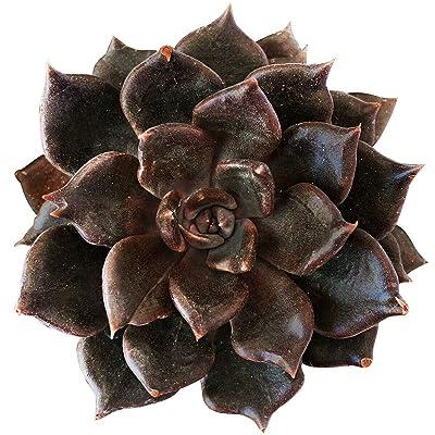"""Echeveria Black Prince Succulent (4"""" + Clay Pot) : Garden & Outdoor"""