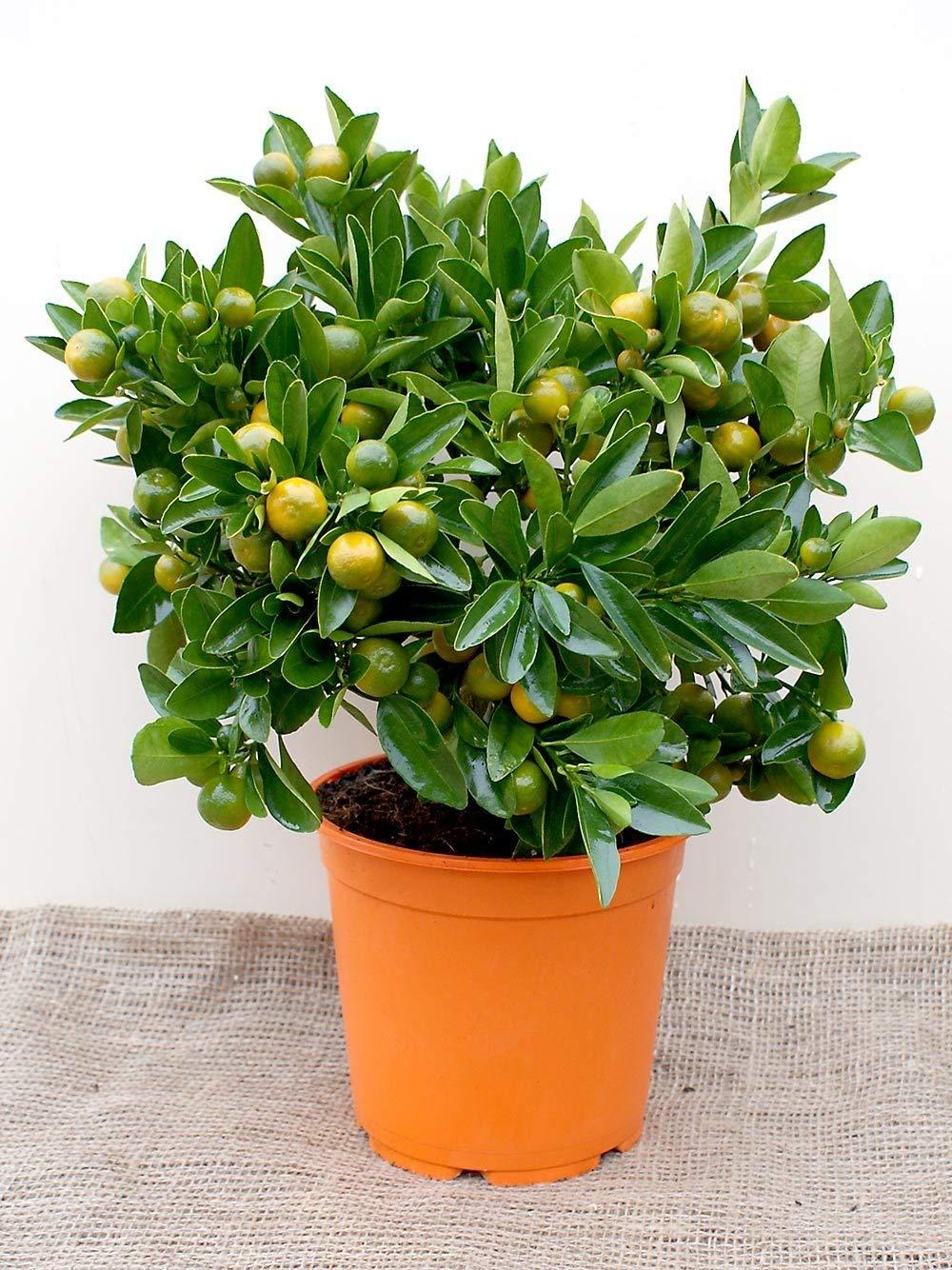 IDEA HIGH Calamondin Tree (Miniature Orange) by HATCHMATIC (Image #1)