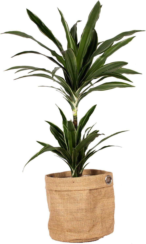 Planta de interior de Botanicly – Árbol dragón en una bolsa de ...