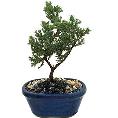 AchmadAnam - Live Plant Japanese Juniper Bonsai Tree Miniature Ceramic Pot Indoor : Garden & Outdoor