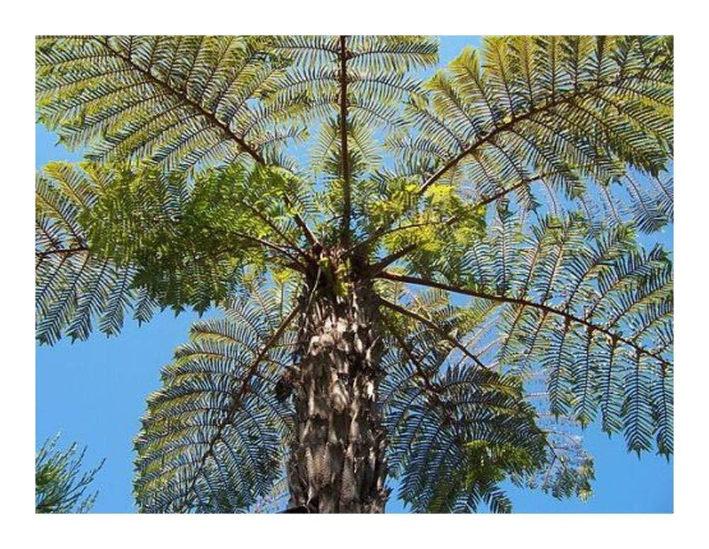 Cyathea vaupelii - Tree fern - 10 seeds Exotic Plants