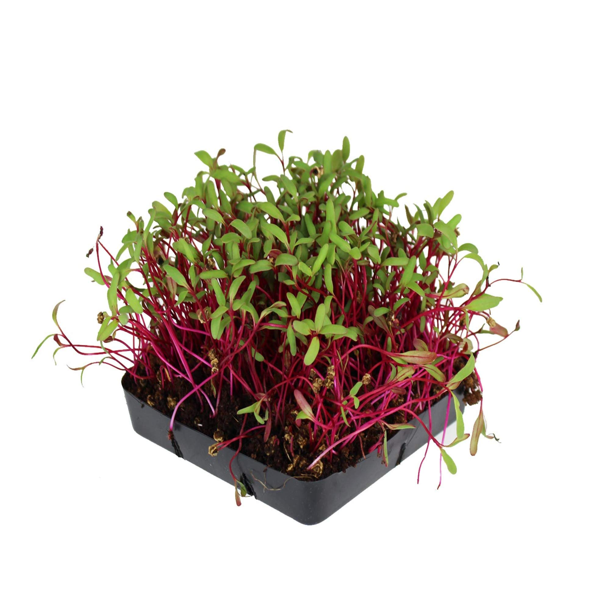 Detroit Dark Red Beet Seeds - Non-GMO Bulk Heirloom Seed for Growing Microgreens, Vegetable Gardening, Garden Salad Garnishes, More (5 Lb) by Mountain Valley Seed Company
